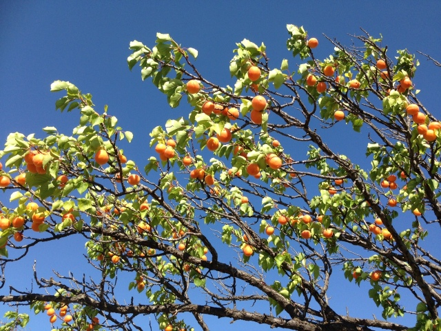 Paonia apricots